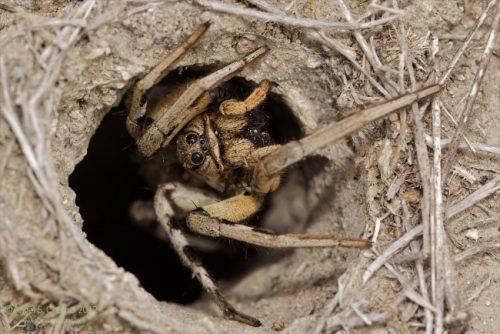 obitanie tarantula
