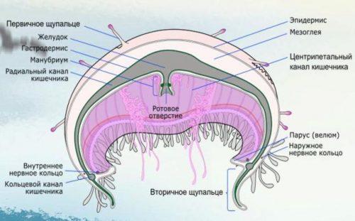stroenie meduzy