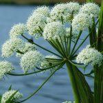 Вех ядовитый: описание и применение растения, симптомы и признаки отравления, фото, отзывы