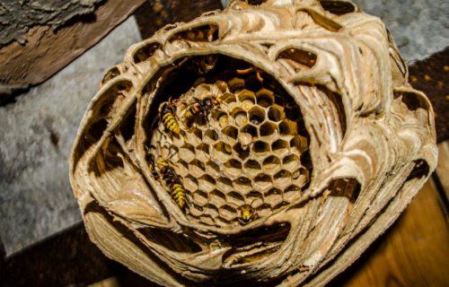 фото гнезда шершней