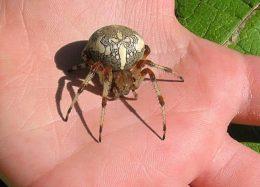 Укус паука крестовика